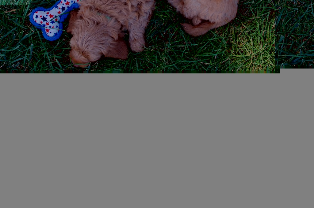 double doodle puppies, north american retriever puppies, apricot doodle