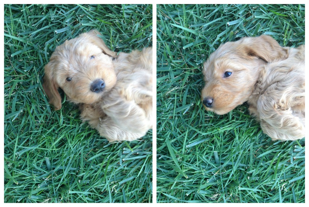 double doodle puppy, north american retriever